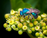 An Iridescent Orchard Mason Blue Bee Rests On A Flower At Bayou Pierre Wildlife Management Area In This Captivating Commercial Macro/Close Up Photograph By Brian Buckner Photography, Shreveport.