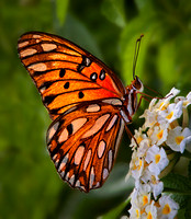 A beautiful orange and black winged Gulf Fritillary butterfly with erect antenna rests on some dainty white flowers as it feeds on their nectar.