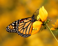 An orange and black Monarch butterfly rests, feeding on a small yellow flower as many other yellow flowers and buttflies cause a splash of color in the background.