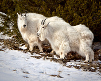 A Pair Of Rocky Mountain Goats, Attired In Their Long And White Winter Fur, Look Out From A Snowy High Rock Outcropping in this commercial wildlife photograph by Brian Buckner Photography, Shreveport.