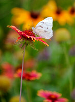 A beautiful  cabbage white butterfly rests on a Indian Blanket flower drinking nectar In This Composition Of A Peaceful Nature Photograph By Brian Buckner Photography, Shreveport, Louisiana.