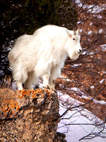 A Rocky Mountain Goat Attired In His Long And White Winter Fur Looks Out from A Snowy High Rock Outcropping South Of The Teton Range In This Commercial Wildlife Photograph By Brian Buckner Photography