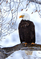 A Rocky Mountain Majestic Bald Eagle Rests On His Lofty Tree Perch Guarding His Snow Dusted Portion Of A Winter Elk Kill In This Commercial Wildlife Photograph By Brian Buckner Photography.
